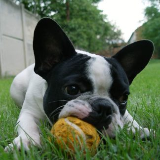 Volwassen honden