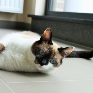 Volwassen kat