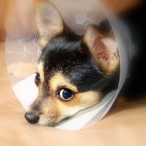 Herstellende honden