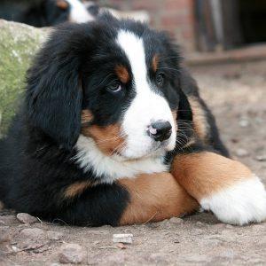 puppy-grote-rassen