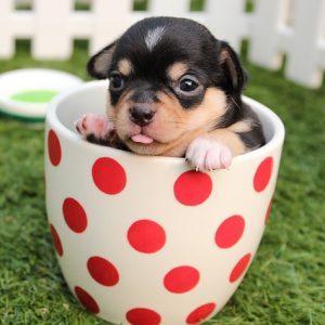 puppy-kleine-rassen